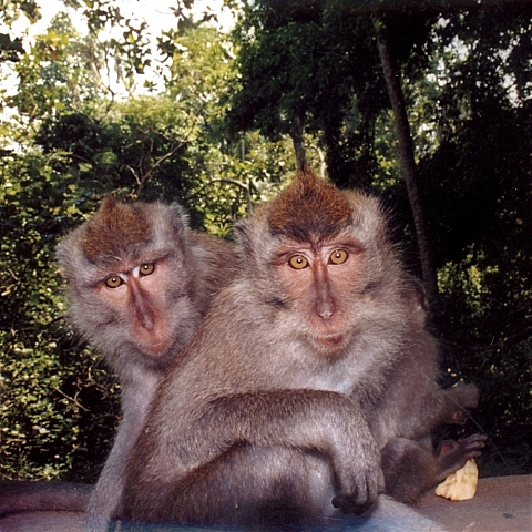 wild free macaques