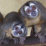captive owl monkeys